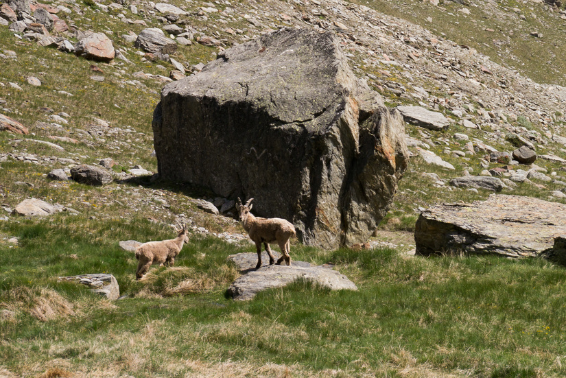 Ibex on the descent