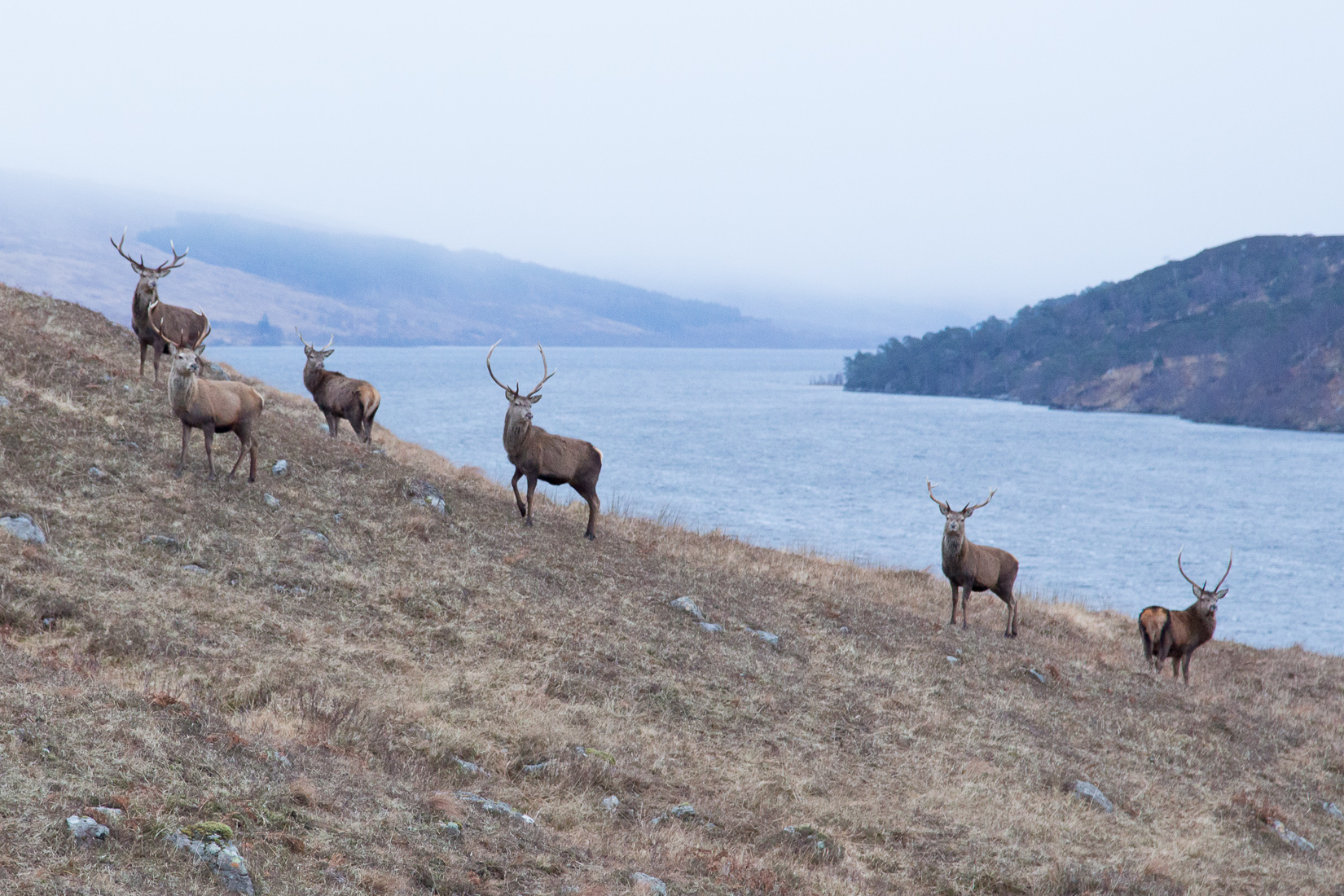 Deer in front of Loch Arkaig