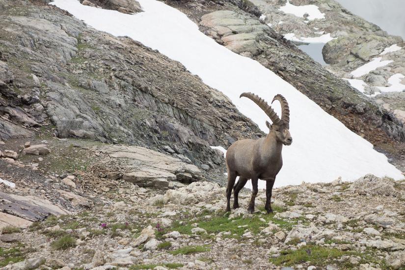 Very bold ibex